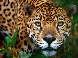 jaguar the animal
