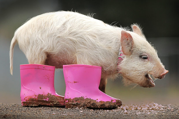 pig with the rain boots - 1 Sept. 2015